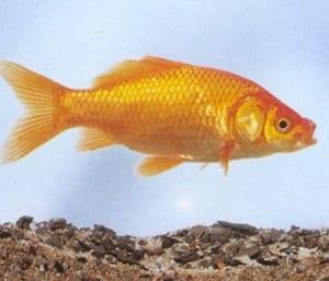 Feng shui e ricchezza come attrarre la prosperit in casa for Carpa pesce rosso