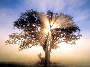 Effetto Maharishi - albero